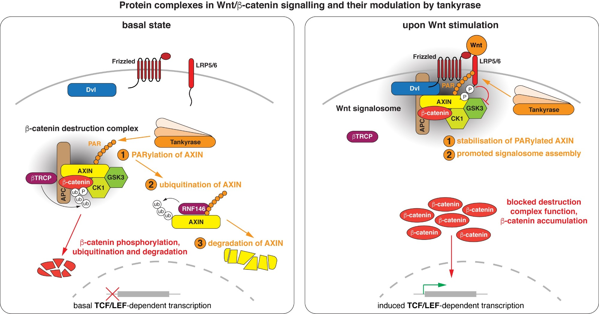 "Wnt/beta-catenin signalling revolves around controlling the levels of the transcriptional co-activator beta-catenin. A multi-protein beta-catenin destruction complex captures cytoplasmic beta-catenin and limits its abundance by initiating its phosphorylation- and ubiquitination-dependent degradation. Notably, destruction complex function is impaired in the vast majority of colorectal cancer cases. Wnt stimulation remodels the destruction complex into a membrane-localised ""Wnt signalosome"" incapable of destabilising beta-catenin. Tankyrase controls the receptiveness of cells to incoming Wnt signals by PARylating AXIN, thereby destabilising the destruction complex or promoting Wnt signalosome formation. (Images modified from Mariotti et al., 2017)"
