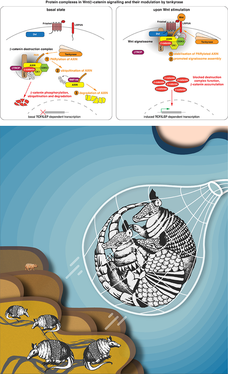 Top: The beta-catenin destruction complex is an example for collaborative proteins. It's components beta-catenin and APC are among the most frequently mutated proteins in cancer. The complex is bossed around by tankyrase; we aim to understand how. (Images modified from Mariotti et al., 2017) Bottom: The image, which was created by our multi-talented PhD students Saira Sakalas and Yexin Xie, shows armadillos (another name for beta-catenin) being captured by a fishing net, which signifies the beta-catenin destruction complex.